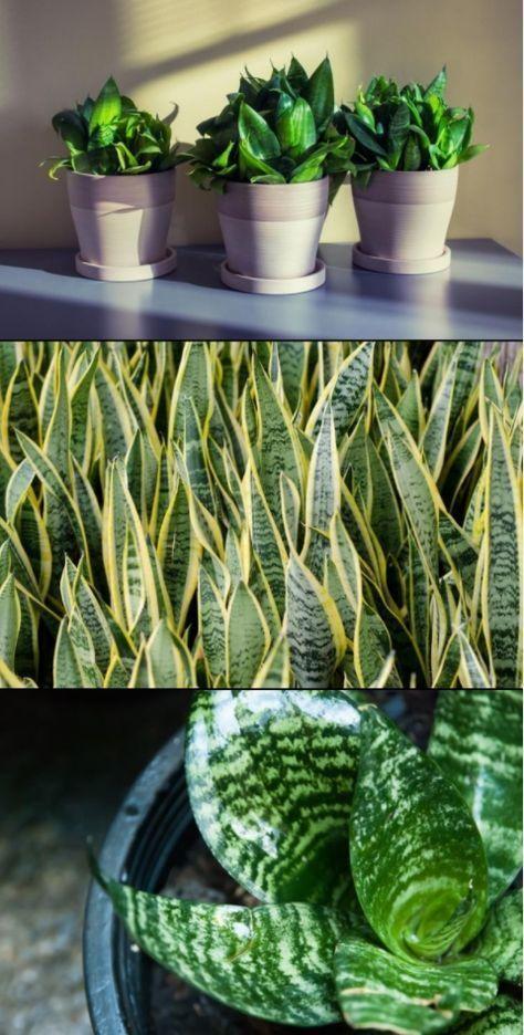 Como Cuidar La Sanseviera Lengua De Suegra Todo Lo Que Debes Saber Plantas De Interior Cuidados Plantas Para Jardineras Propagacion De Plantas Suculentas