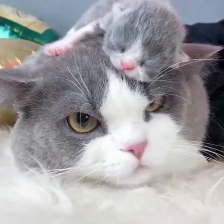 Out of all the places, this kitty decided to sleep on his mother