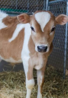 Adopt Heartbreak On Pets Cow Adoption