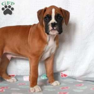 Boxer Puppies For Sale Boxers Boxer Puppies For Sale Puppies