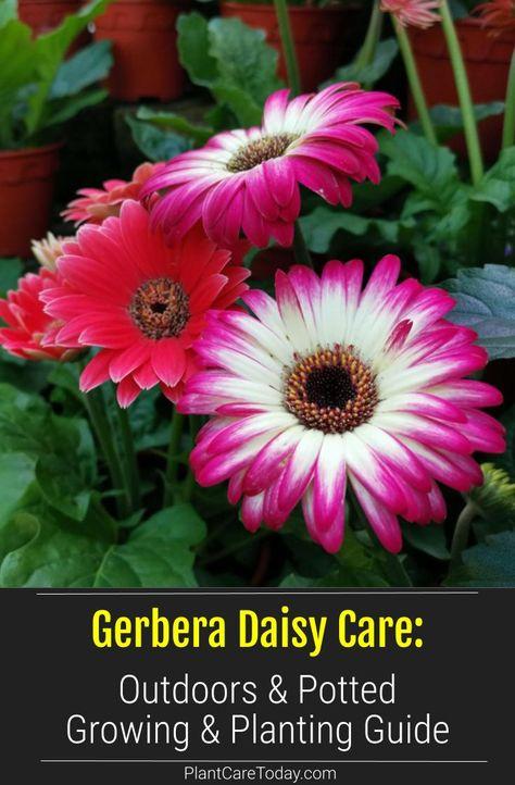 Gerbera Daisy How To Grow And Care For Gerbera Daisies Gerbera Daisy Care Gerbera Daisy Gerbera Plant