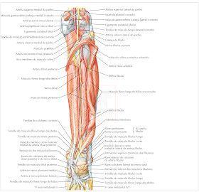 Membro Inferior Em 2020 Anatomia Corpo Humano Anatomia Corpo