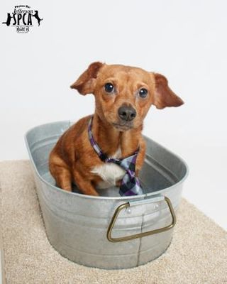 New Orleans La Chihuahua Meet Williams A Dog For Adoption