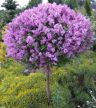 Korean Lilac Tree Zones 4 8 The Dwarf Korean Lilac Tree Is Not Fussy As Long As It S Planted In Full Sunligh Japanese Lilac Tree Lilac Tree Korean Lilac Tree