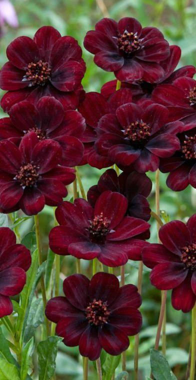 Chocolate Cosmos - deep, deep red & they really do smell like chocolate