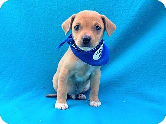 Burbank Ca Chihuahua Mix Meet Orlando A Puppy For Adoption