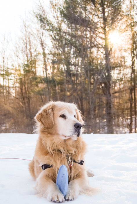 Handsome Golden Retriever Playing With A Frisbee In Maine Gorgeous