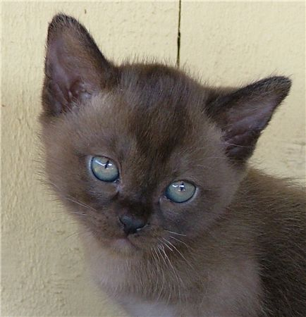 Burmese cats for sale qld