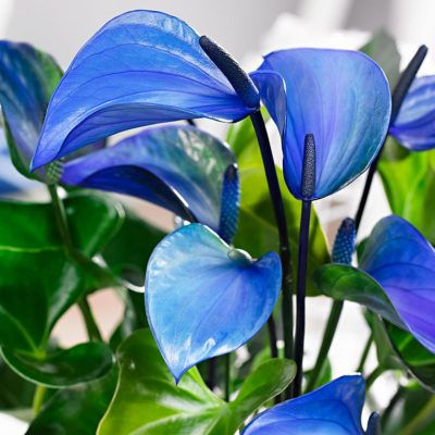 Bringing City Jungle To Your Home With Blue Anthuriums Anthurium English Anthurium Anthurium Plant Beautiful Flowers Pictures