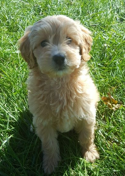 Cher Is A Female Goldendoodle Puppy For Sale At Puppyspot Call Us