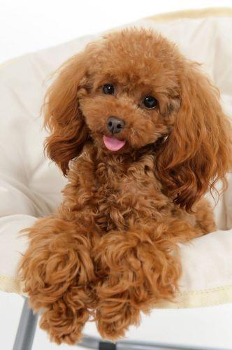 Cockapoo Vs Poodle Breed Comparison Mydogbreeds Toy Poodle