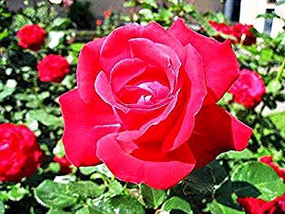 Bunga Tercantik Di Dunia Mawar Merah In 2020 Black Spot On Roses Rose Leaves Organic Fungicide