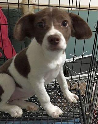 Rockaway Nj Labrador Retriever Meet Agie Scas Rm A Dog For Adoption Kitten Adoption Dog Adoption Pet Adoption