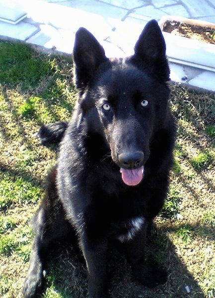 Black German Shepherd With Blue Eyes Blue Eyed Dog Dogs Pet