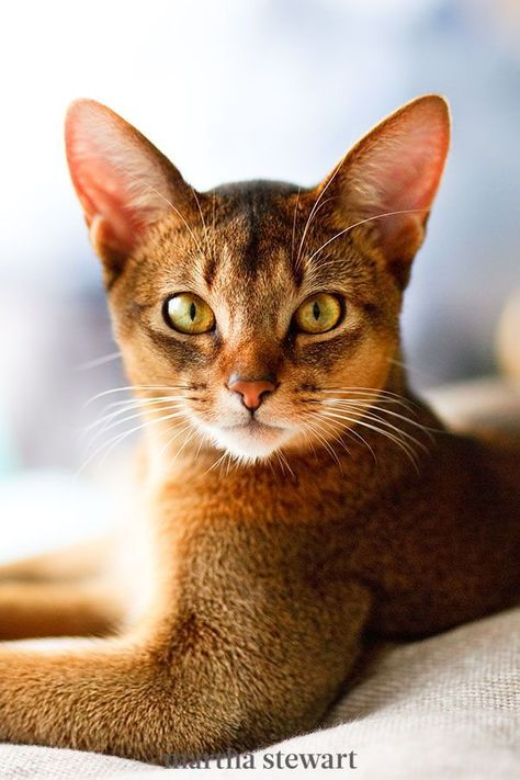 The Abyssinian cat is one of the oldest known breeds. It has a regal, muscular appearance, alert pointed ears, and a distinctive ticked tabby coat, in which individual hairs are banded with different colors. This breed isn't fond of being held or cuddled, but they can be quite playful. #marthastewart #lifestyle #petcare #pets