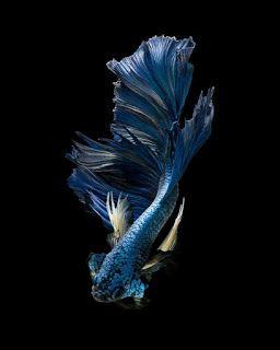 Wallpaper Ikan Cupang Ikan Cupang Ikan Hewan