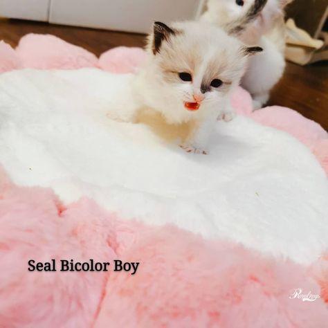 Ragdoll Kitten Available! #kittenforsale #catforsale #ragdollforsale #cat #kitty #kitten #kittensofinstagram... #catlover#kittens #funnycats #catfacts #cat #cats #cute #kittens #catlovers #catloverscommunity #ragdollkittens Ragdoll Kitten Available! #kittenforsale #catforsale #ragdollforsale #cat #kitty #kitten #kittensofinstagram... #catlover#kittens #funnycats #catfacts #cat #cats #cute #kittens #catlovers #catloverscommunity #ragdollkittens Ragdoll Kitten Available! #kittenforsale #catforsale