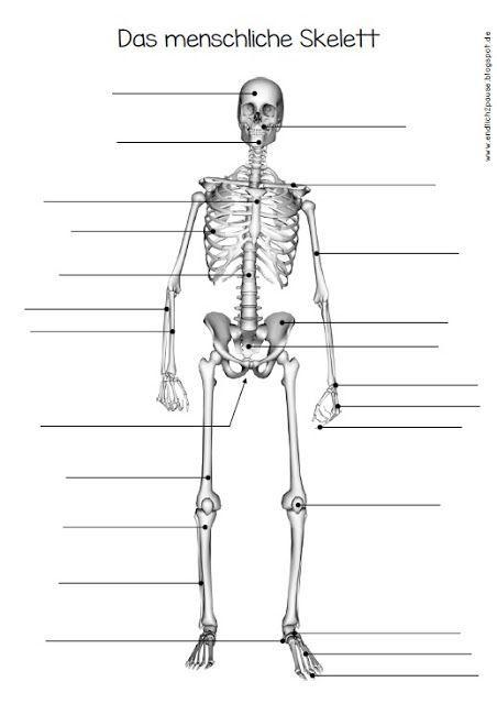 01c1c1edd2d896 Pin von Gina Rimmer auf Muscles | Anatomie skelett, Anatomie und ...