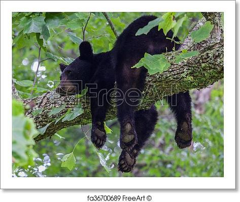 Free art print of Black Bear