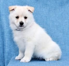 Timmy Tiny Pomsky Puppy For Sale In Millersburg Oh Lancaster
