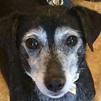 Oak Ridge Nj Dachshund Meet Elton A Pet For Adoption Dog