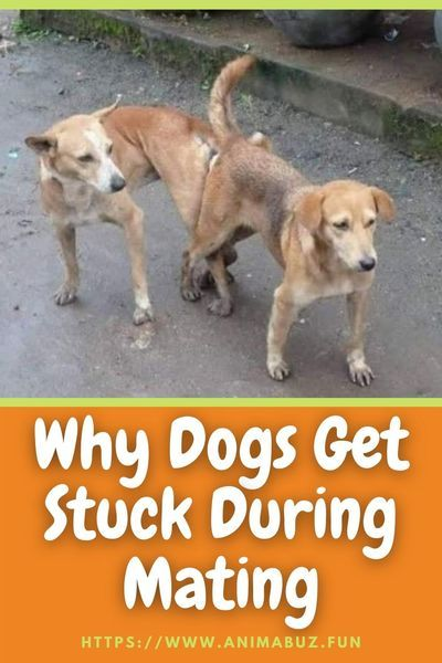 Why Dogs Get Stuck During Mating Dogs Cute Dog Pictures Street Dogs