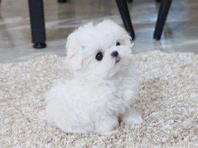 Super Adorable Maltese Puppies For Sale In 2020 Teacup Puppies