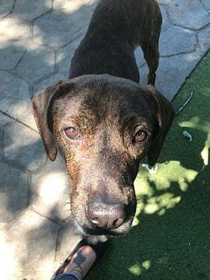 New York Ny Plott Hound Meet Nicholas A Dog For Adoption