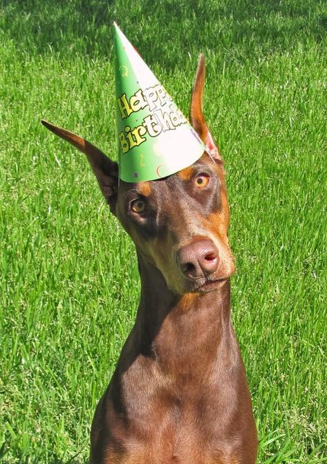 The Cutest Doberman Pictures