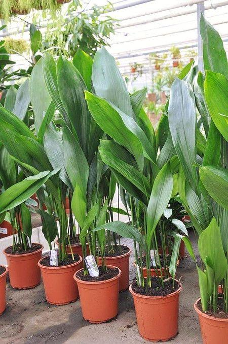 Schusterpalme Metzgerpalme Aspidistra Elatior Vorgarten Anlegen Kubelpflanzen Pflanzen