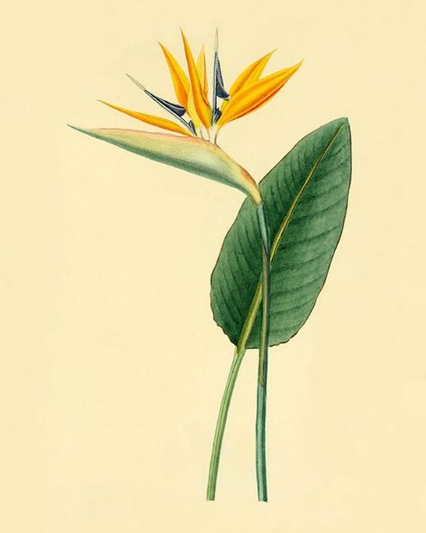 Tattoo Bird Of Paradise Strelitzia 25 New Ideas In 2020 Birds Of Paradise Flower Birds Of Paradise Folk Art Flowers