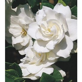 Monrovia 1 6 Gallon White Aimee Gardenia Flowering Shrub L4204