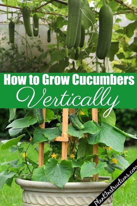 How To Grow Cucumbers Vertically Gardening Tips Growing Cucumbers Vertically Container Gardening Vegetables Growing Cucumbers