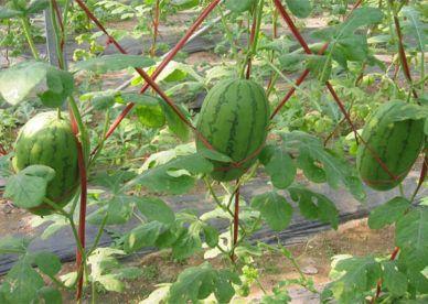 صور أشجار فاكهه البطيخ الجميلة عالم الصور Garden Plants Plants Photo Tree