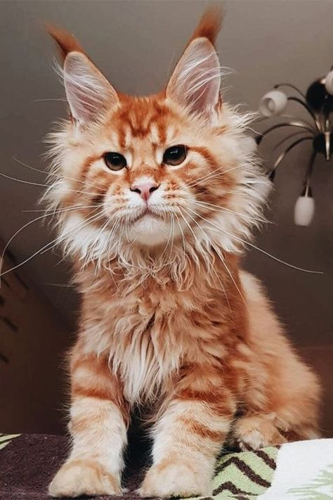 Fun Facts about Maine Coon Cats and Kittens that show just how interesting and unique the Maine Coon cat breed really is! #mainecoon #mainecooncats #cats #kittens #catfacts