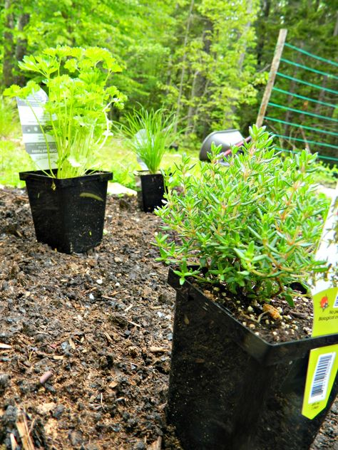 Grow with Me and Wile's Lake Farm Market- Planting Herbs