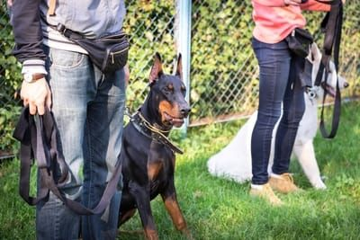 How To Train A Doberman The Complete Guide Obedience School For