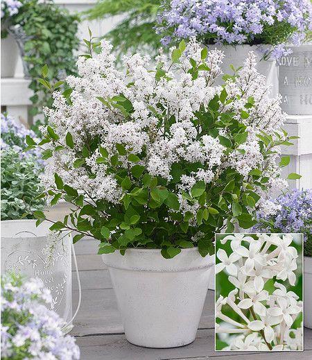 Flieder Flowerfest White 1pflanze Flieder Pflanzen Tom Garten