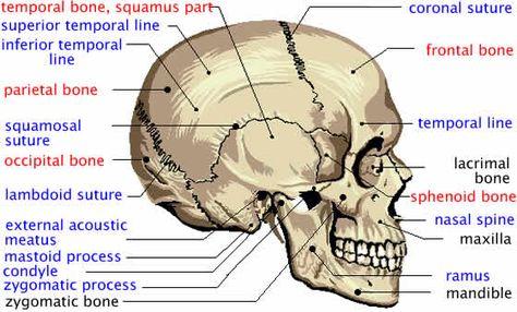 Good diagram of facial bone structure safe