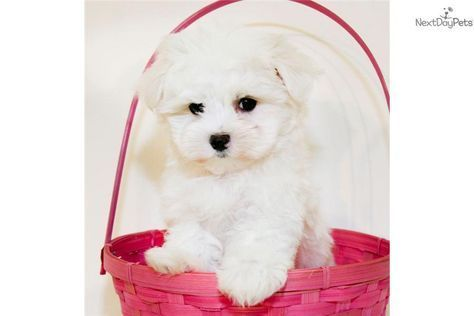 Meet Snowflake A Cute Maltese Puppy For Sale For 699 Teacup Snowflake Our Female Maltese With Images Maltese Teacup Puppies Maltese Maltese Puppy