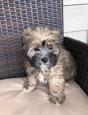 Conroe Tx Shih Tzu Meet Flynn A Pet For Adoption Pet Adoption Shih Tzu Pets