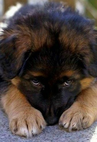 The Reality Of How Dogs See May Actually Surprise You German Shepherd Dogs Shepherd Dog Puppies