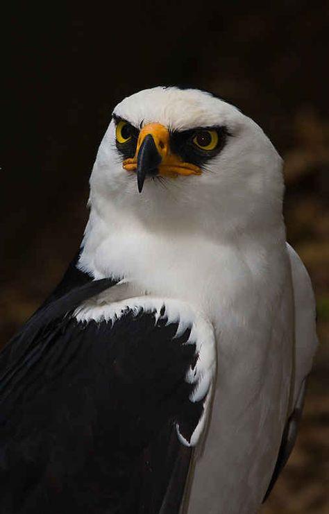 Águila Viuda o Patera (Spizastur melanoleucus). La destrucción de su hábitat y el ser utilizados como blancos por desalmados cazadores, han colocado a esta especie en peligro.
