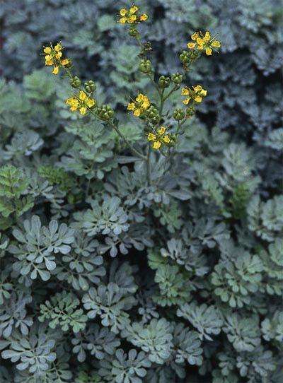 Rue (Ruta graveolens) in dark grey/purple variety  Don't plant near