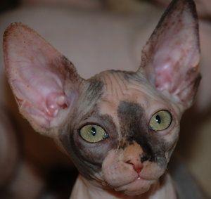 Tortie Sphynx Bambino Cat Hairless Kitten Elf Cat