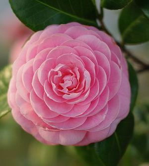 Image result for camellia pinterest