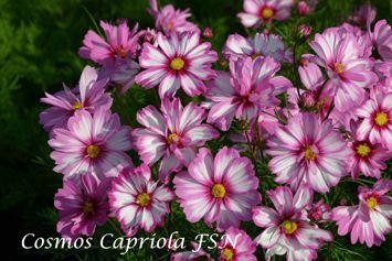 Van Hemert Seeds Seed Catalogue Cosmos Cosmos Flowers Cosmos Dwarf Plants