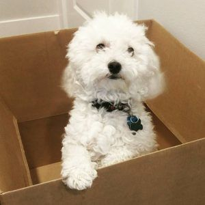 Amazing Facts About Bichon Poodle Mix Good And Bad About Them