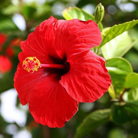 Top 25 Most Beautiful Hibiscus Flowers Hibiscus With Images