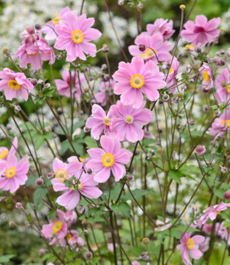 Vigorous and charming, Anemone x hybrida 'Serenade' produces masses of semi-double, rosy pink flowers with 10 to 15 narrow, overlapping tepals surrounding a globe-like center of golden yellow anthers.